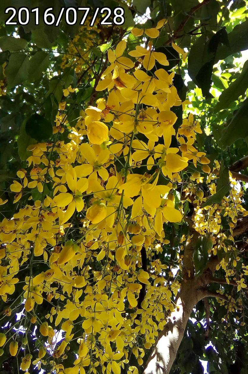阿勃勒、Cassia fistula, golden shower tree